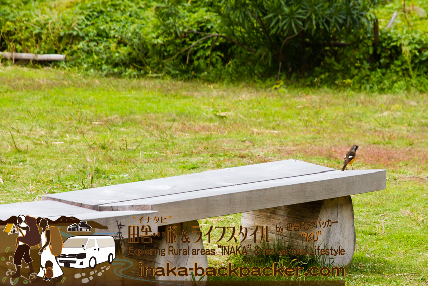 石川県舳倉島(へぐらじま)で多く見かける渡り鳥。This kind of migratory bird can been seen many times on Hegura Jima island