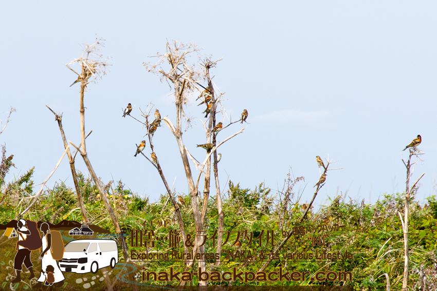 舳倉島 渡り鳥