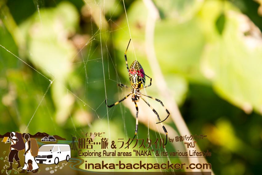 石川県 奥能登一周中 - このタイプのクモが沢山... /