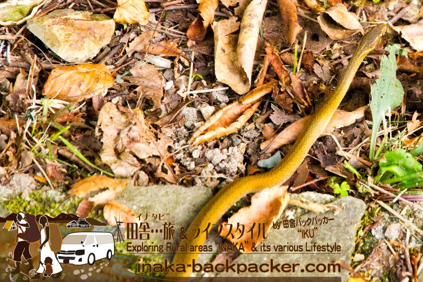 石川県 奥能登一周中 - 蛇見つけた! / Ishikawa Pref. on Noto Peninsula - Found a snake!