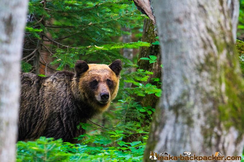 brown bears on shiretoko peninsula in Hokkaido Japan ヒグマ 羆 知床半島 北海道 日本