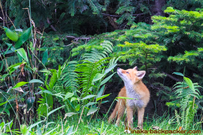 hokkaido fox wild life animal 北海道 キタキツネ 北狐