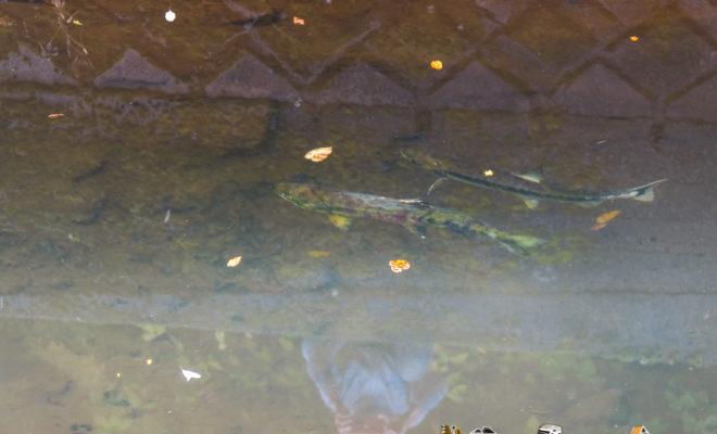 穴水町 川尻 鮭 salmon anamizu kawashiri