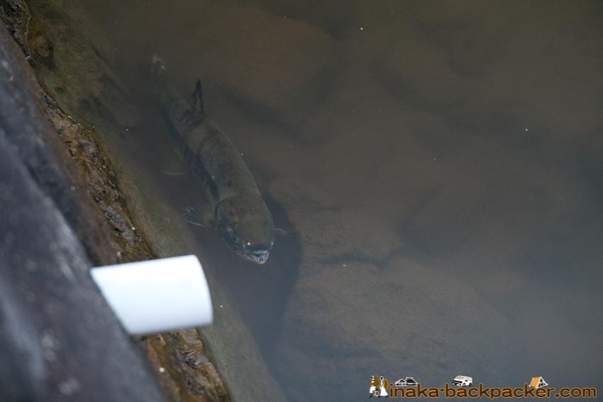 石川県 穴水町 川尻 鮭 さけ 遡上